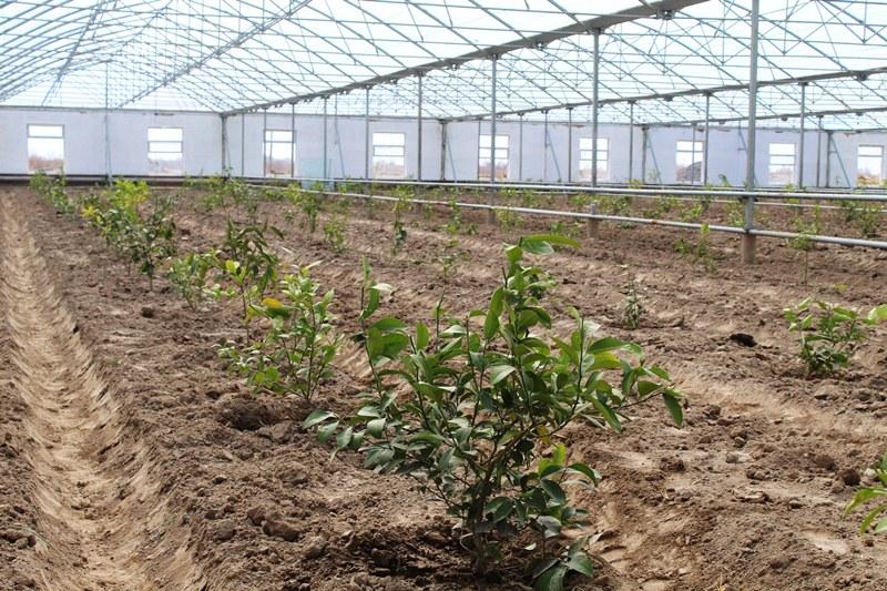 Шоманайда экспорт ушын 164,7 мың дана лимон жетистириў күтилмекте